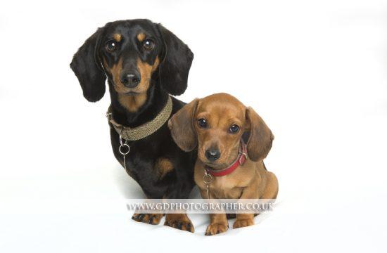 Dog Portraits Essex